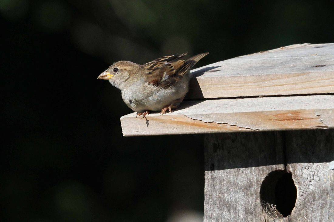 Raising Of Sparrow Pictures : Introduced House Sparrows deprive native birds of needed nest sites ...