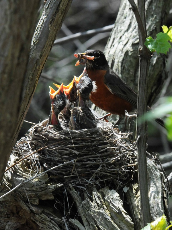 With Nesting Sites/Materials - Birds in the Yard