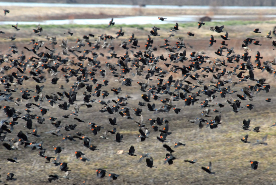 Typical wintertime flock of Red-winged Blackbirds  
